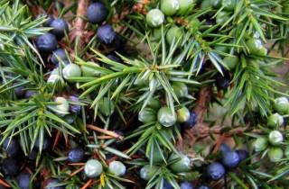 Kleka plod (Juniperi fructus) - Šumske kapi - slika 1