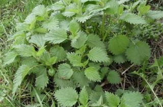 Kopriva list (Urticae folium) - Šumske kapi - slika 1