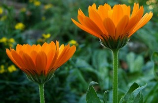 Neven cvet (Cal. officinalios L. -Asteraceace) - Šumske kapi - slika 1